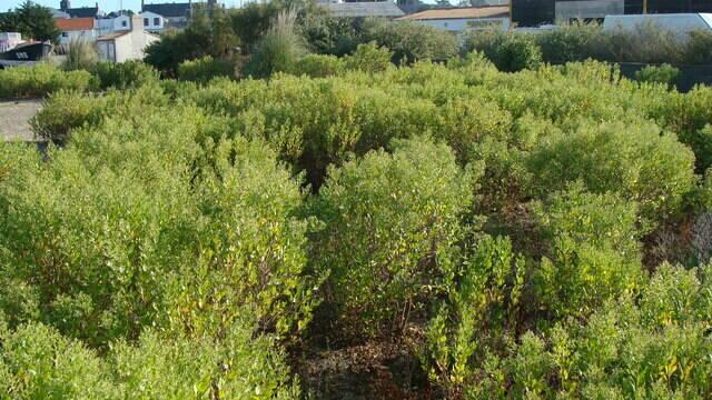 Lutte contre les plantes invasives